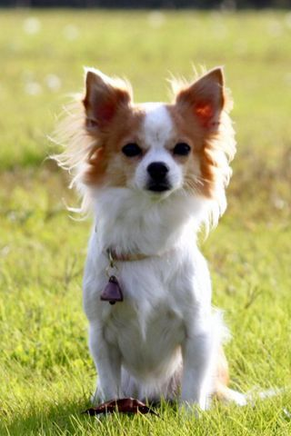 Chihuahua-tíkin Momo.