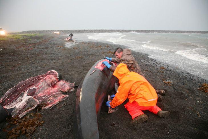 Grindhvalavaða í Rifi á Snæfellsnesi
