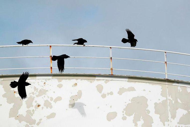 Ravens flying over Reykjavik.