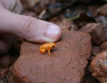 Brachycephalus ephippium er appelsínugulur smáfroskur.