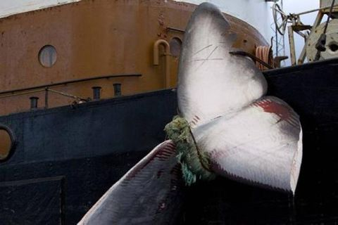 The carcass of a fin whale tied to an Icelandic whaling ship.