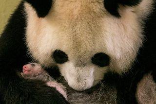 Pandan Huan Huan eignaðist pandahúninn Mini Yuan Zi í sumar.