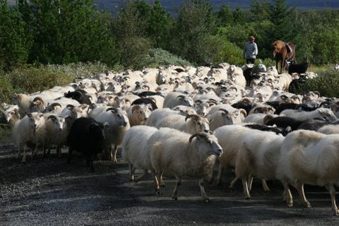 The deaths of 5,000 sheep this spring remain an enigma.