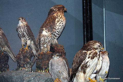 Birds Museum Sigurgeir