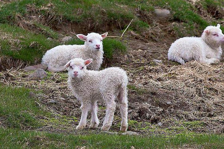 The men cut the lamb's throat