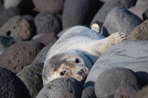 The seal is suffering from shortage of breath as a blue rope has become tangled around her neck.