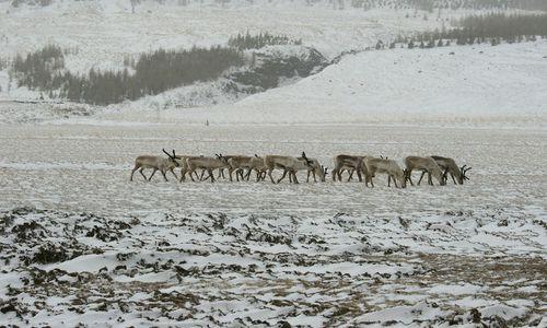 Icelandic reindeer in winter.