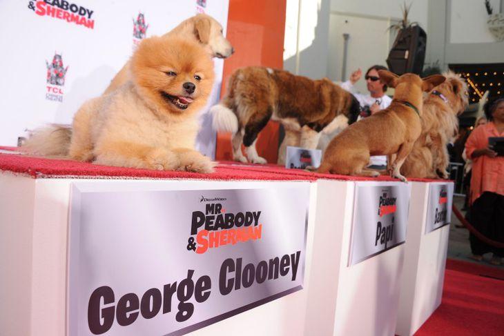 Þessi hundur heitir George Clooney tilbúinn í myndatöku en hann fer með hlutverk í myndinni ...