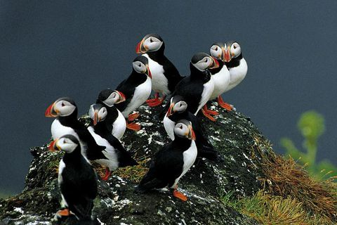The puffin resides in cliffs all over Iceland and feeds on small fish.