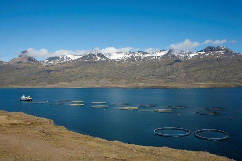 Sea cages in Berufjörður.