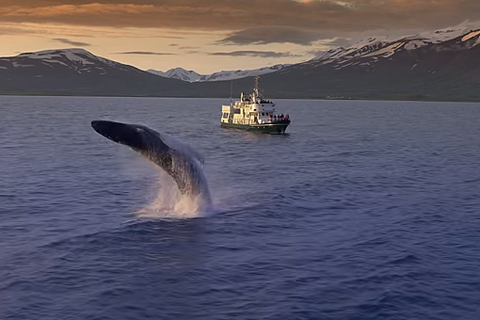 Whales jumping out of the waters of Eyjafjörður, north Iceland, in the midnight sun.
