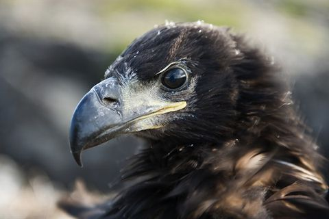 The White-Tailed Eagle Centre