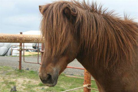 Arctic Horses