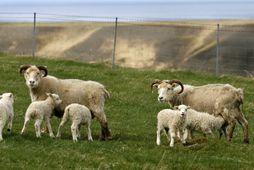Fé hjá bónda á Austurlandi var vannært og þurfti Matvælastofnun að aflífa 58 kindur. Vörslusvipting ...