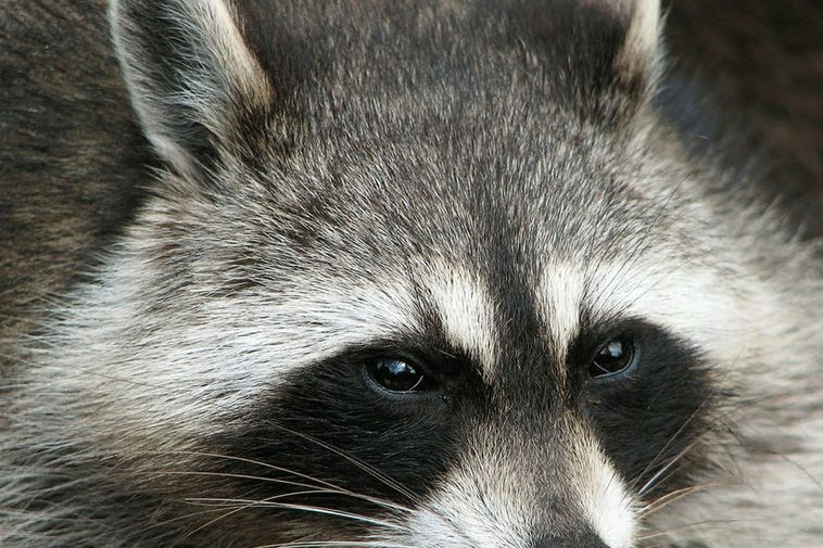 A raccoon, but not the one found in Iceland.