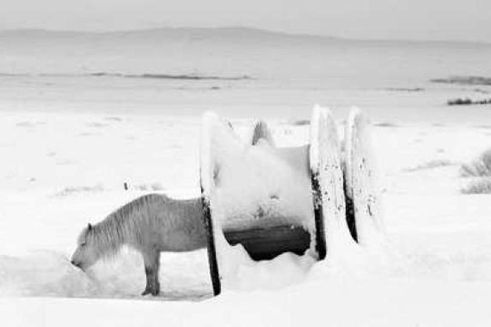 Hestur í snjó.