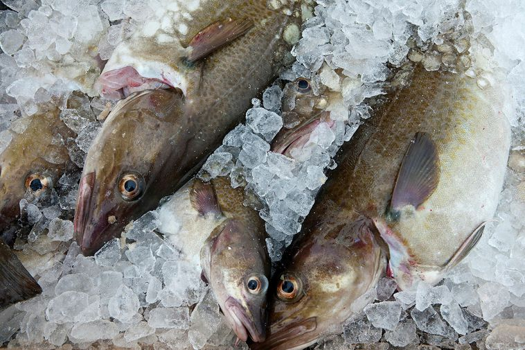 The enzymes are extracted from cod offal using a sophisticated process.