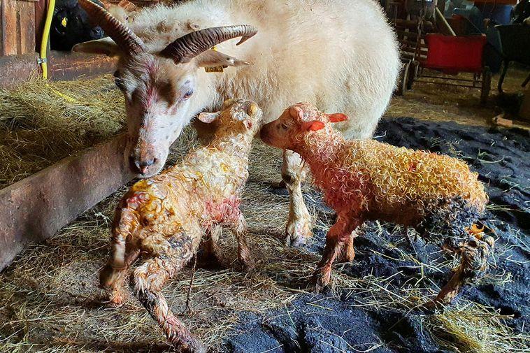 Gyða and her newborn ram lambs.
