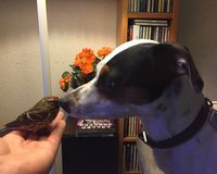Tígull the dog with his new friend, a tiny redpoll.