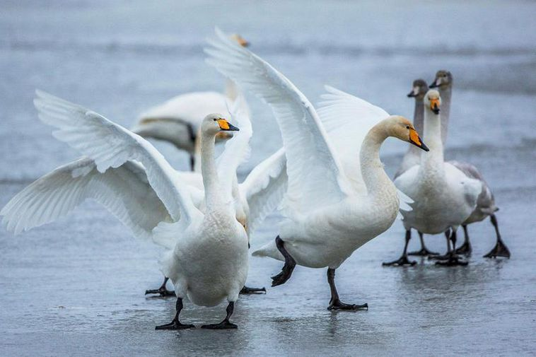 Swans didn't appear to like being photographed by a drone.