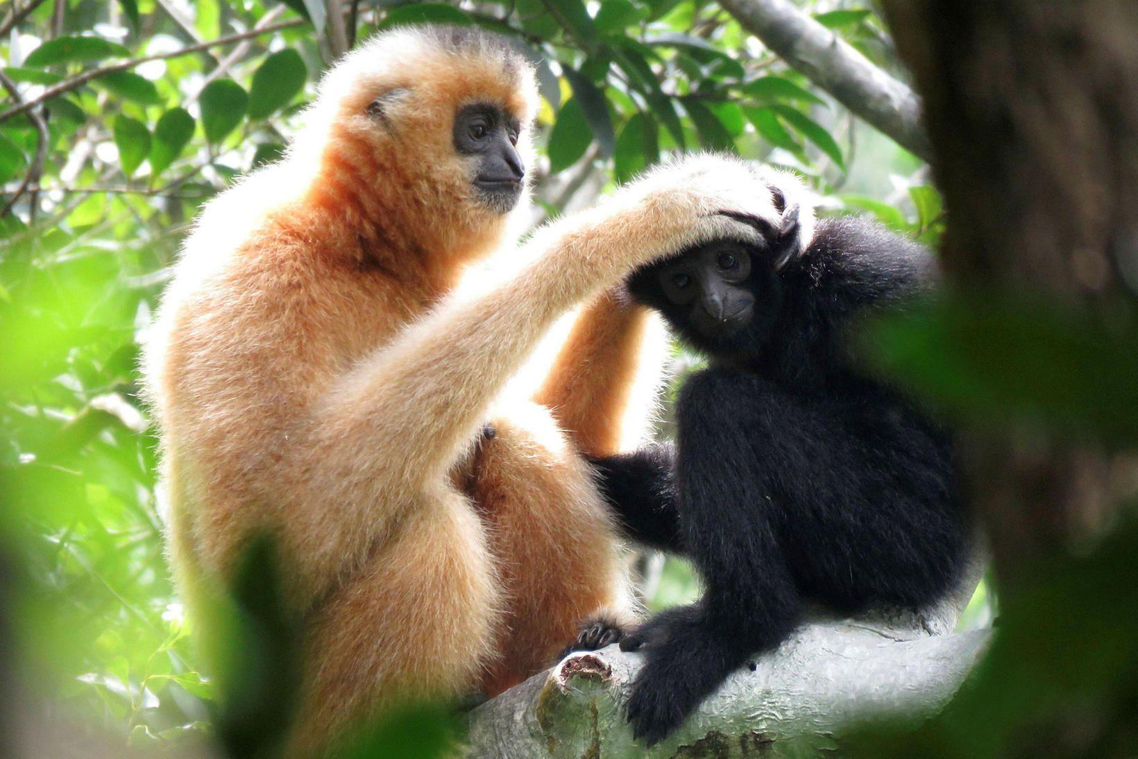 Tveir gibbonapar á Hainan-eyju í Kína, kvendýr og ungur api. …