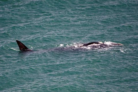 Right whales are rarely spotted in Icelandic waters.