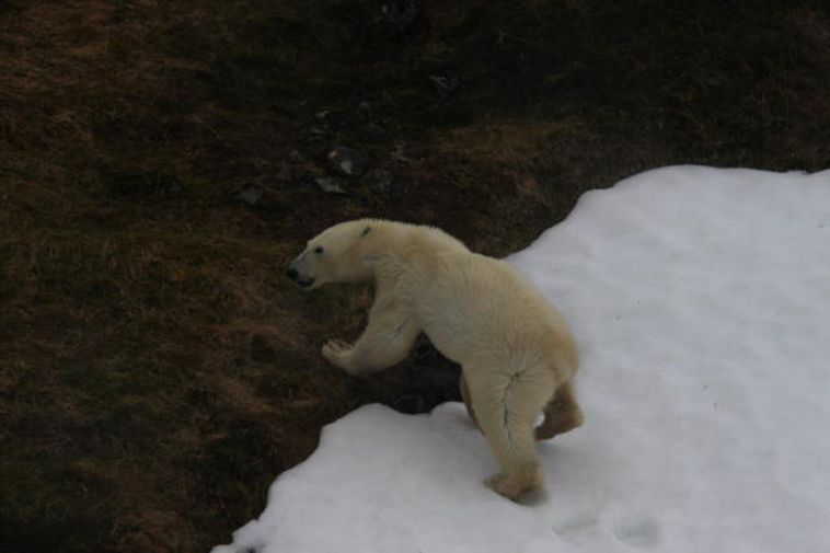 The polar bear which was reported in Hornstrandir, North West Iceland on May 2nd 2011.