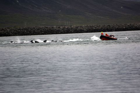 Rescue teams driving the whales out of the fjord last night.