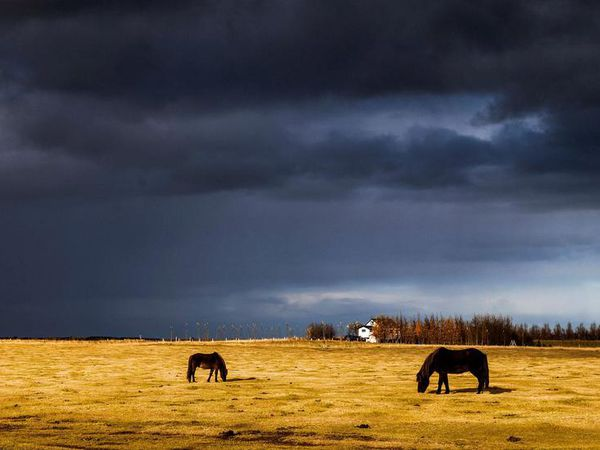 Icelandic horses in the ethereal October glow.