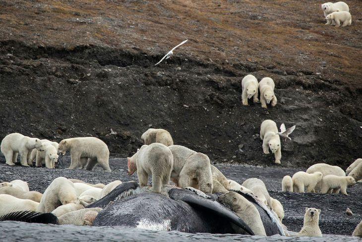 Tugir ísbjarna gæða sér á hvalshræi á Wrangel-eyju þann 19. september.
