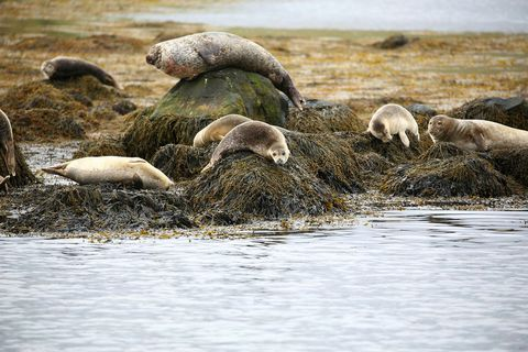 Seals are the main attraction in Hvammstangi, Northwest Iceland.