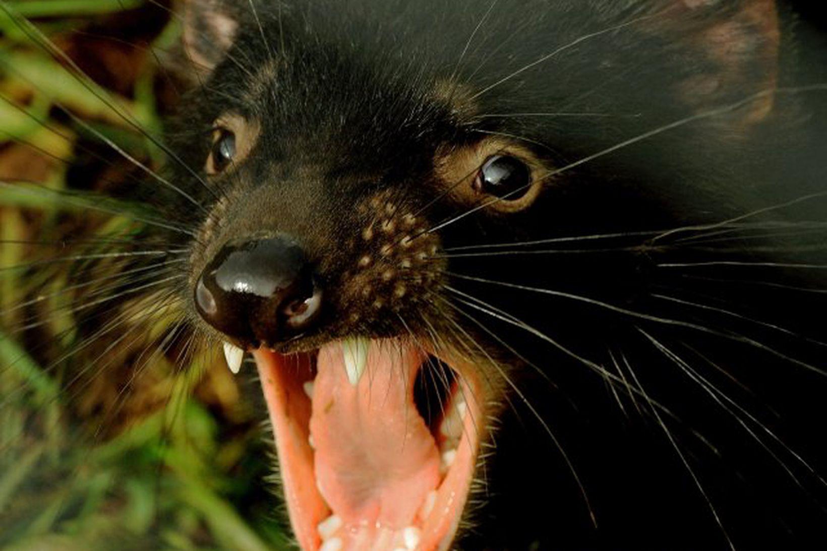 Á þessari mynd má sjá tasmaníudjöful. Ekki má rugla honum …