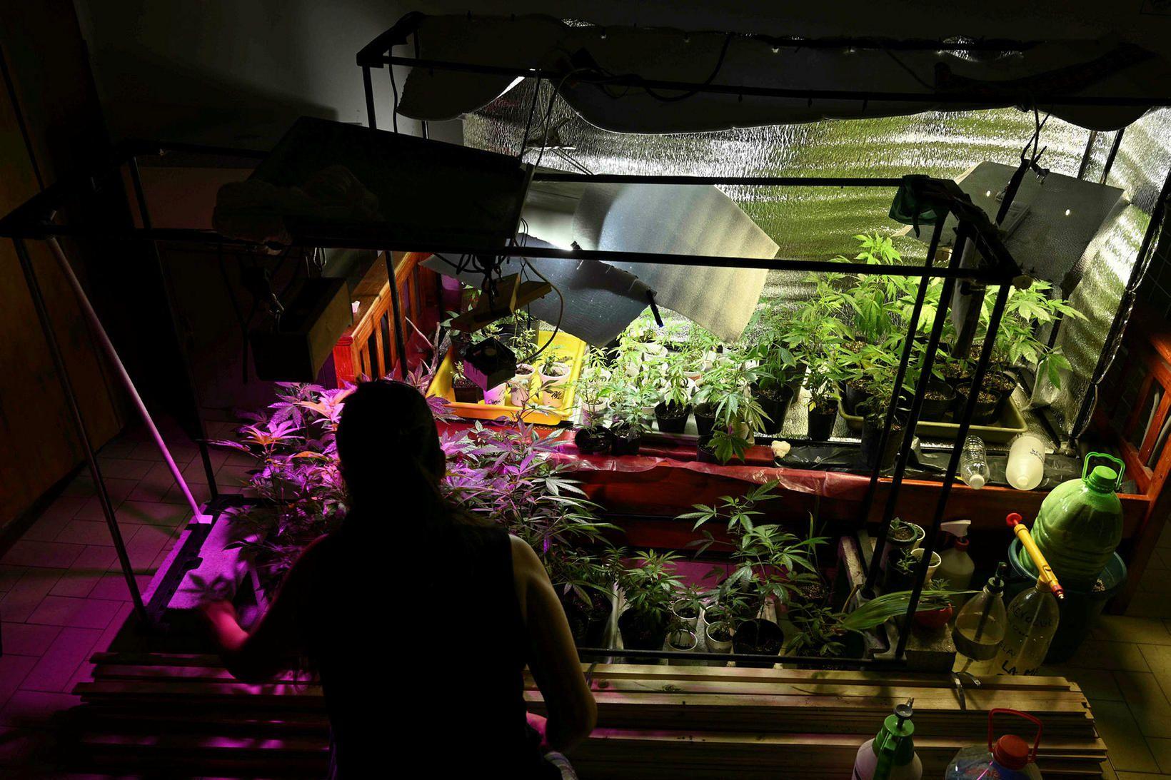 Kannabis er löglegt í 15 ríkjum Bandaríkjanna auk Washington-umdæmis.