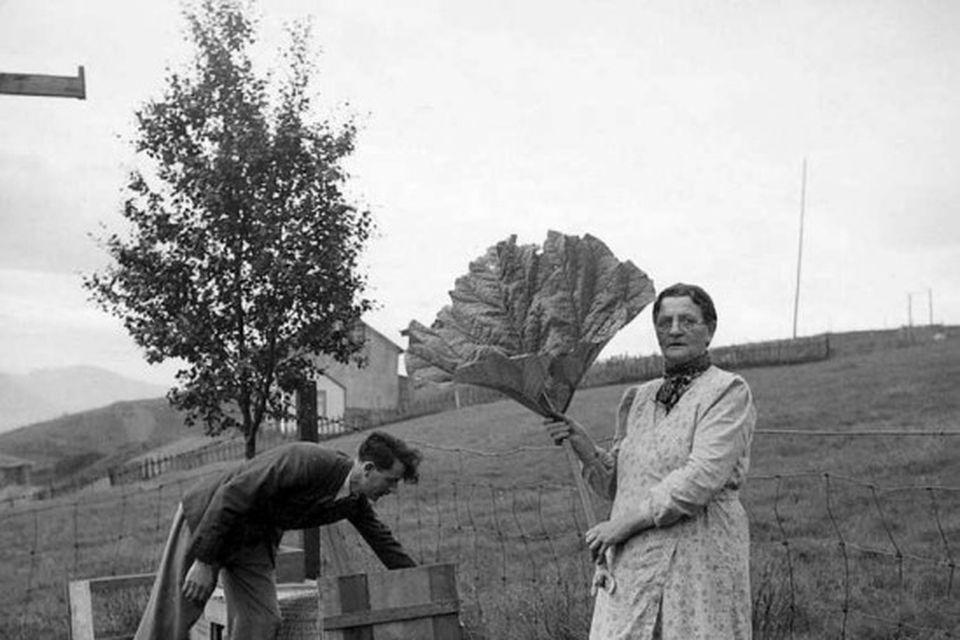 Friðrika Tómasdóttir hampar óvenjuglæsilegri rabarbarauppskeru 1942. Með hennar á myndinni er sonur hennar, Hörður Sigurgeirsson.