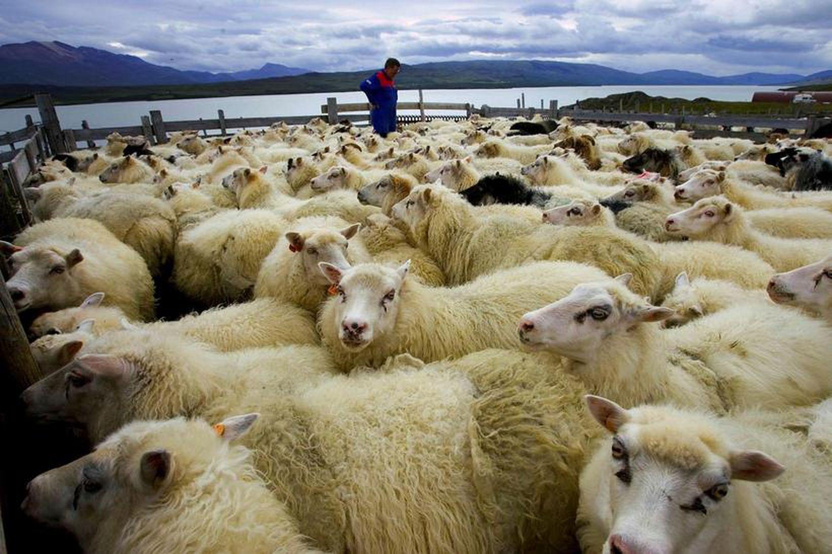 Slátrun hefst 9. ágúst, viku áður en áætlað var.