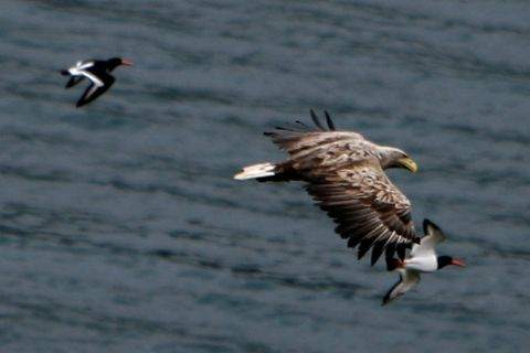 Eagles like to dwell in South Iceland near the hot springs.
