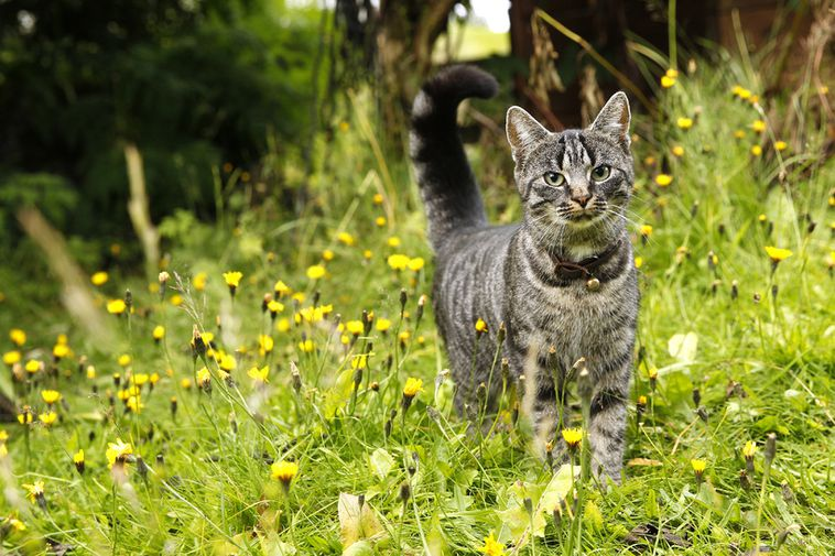 The organization Villikettir aims to improve the lives of feral and stray cats.