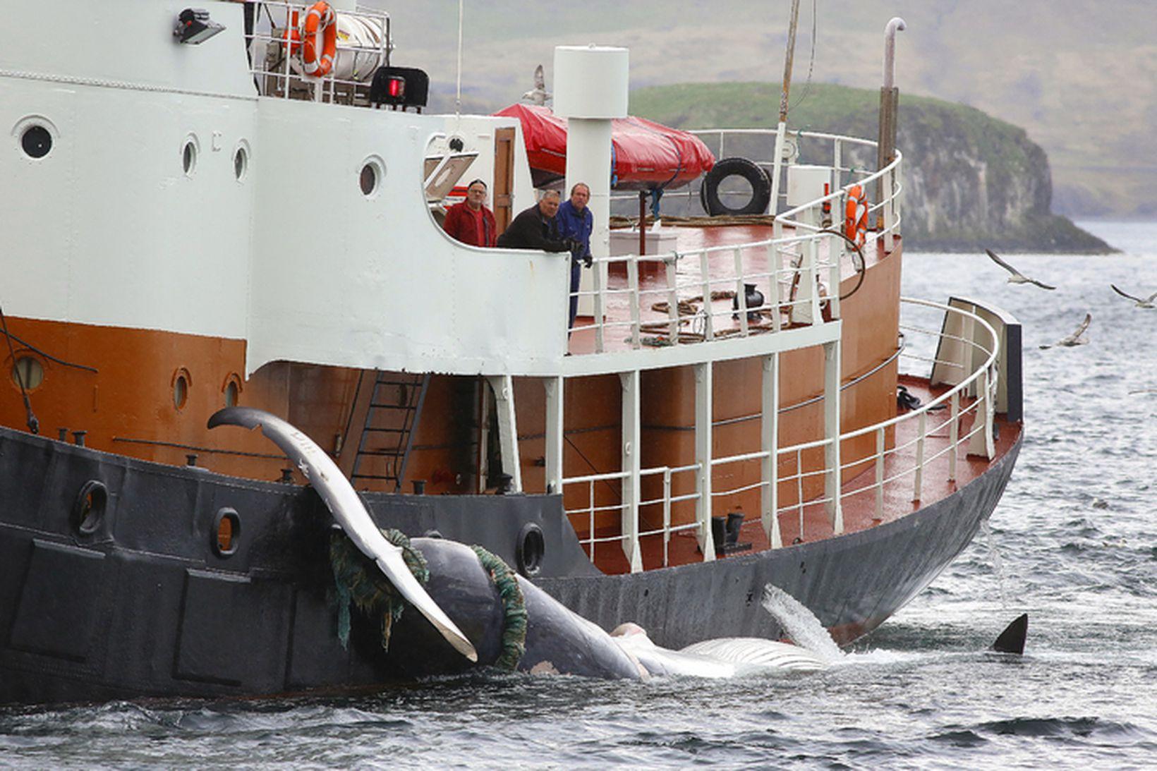Fyrsti hvalurinn kémur í land í Hvalfyrði 2013.