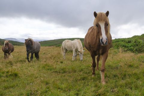 These horses were grazing in Hafnarfjörður yesterday.