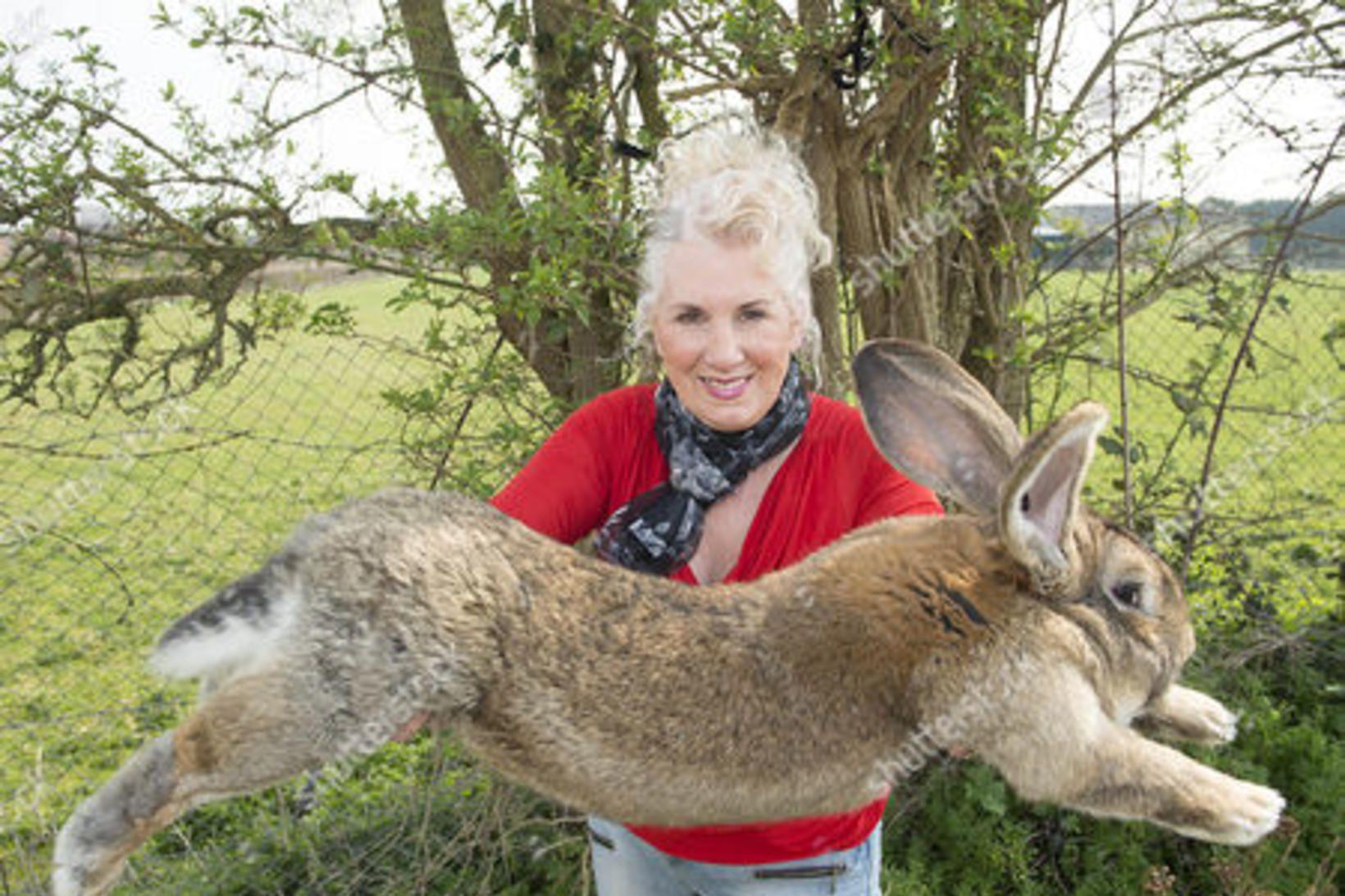 Annette Edwards með Darius, stærstu og elstu kanínu heims.