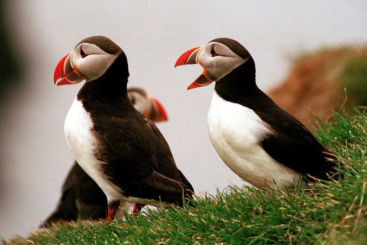 Adult puffins.