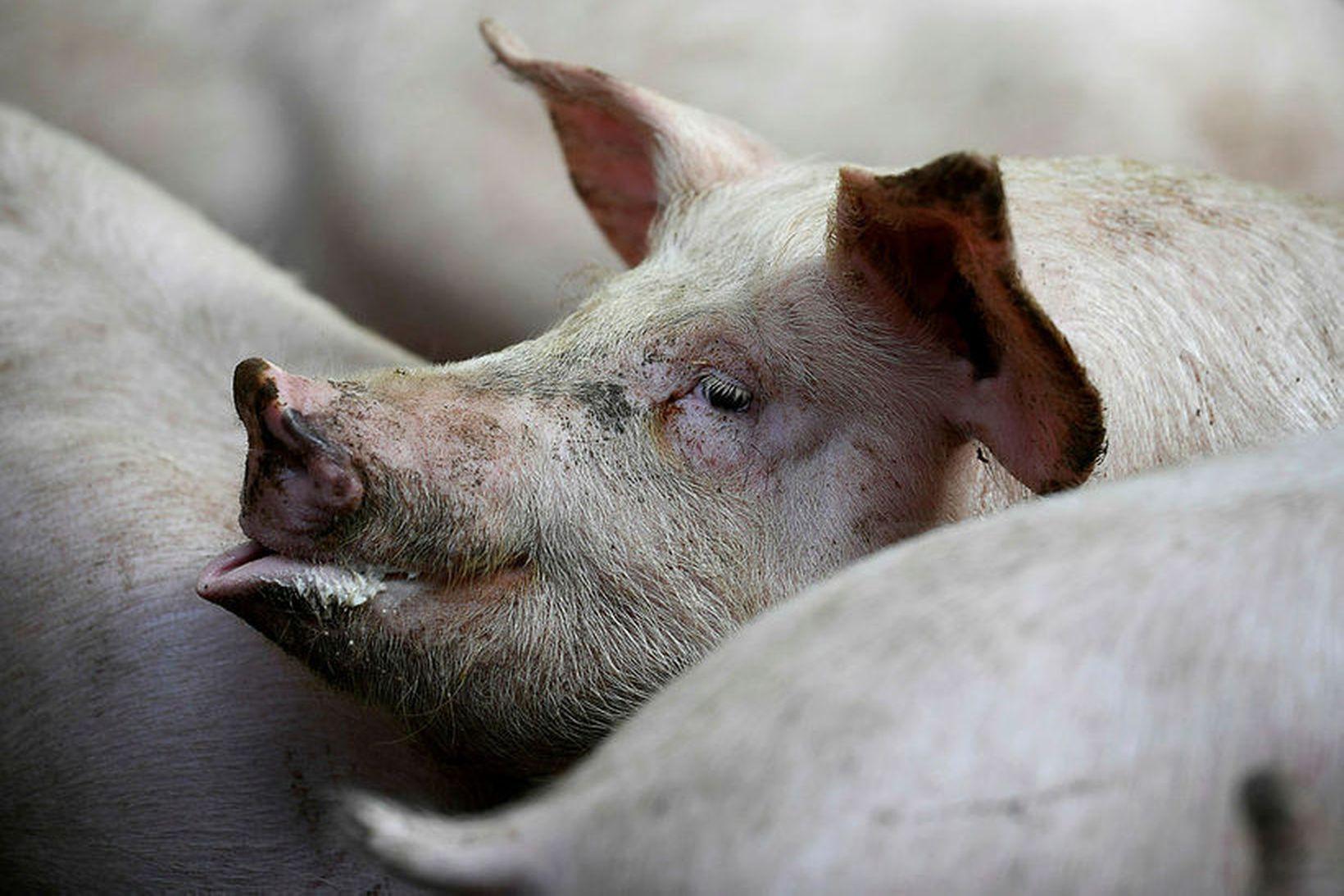 Svínapestin er ekki hættuleg mönnum, en banvæn svínum.