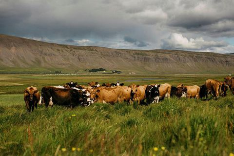 Kjós is a lush farm area of Iceland, west of Reykjavik behind Mount Esja.