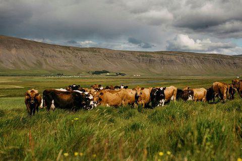 Kjós is a lush farm area of Iceland, west of Reykjavik behind Mount Esja.