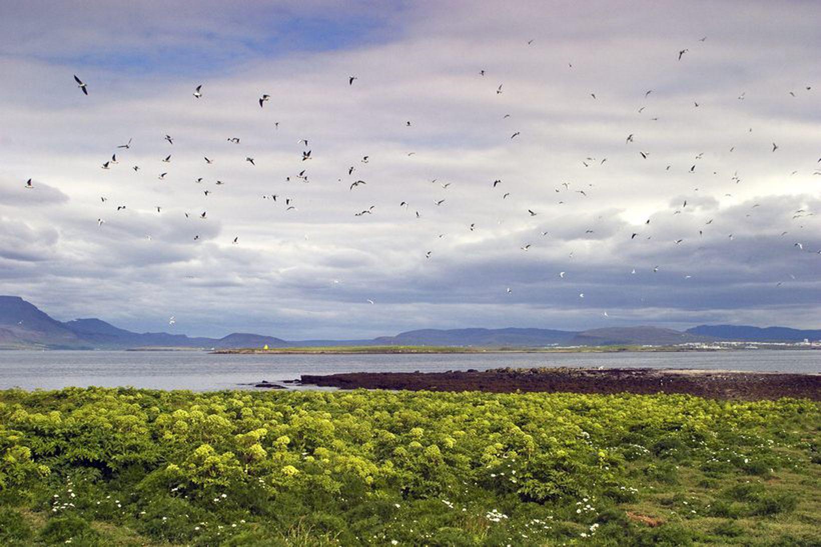 Mikið dýralíf er á og við Akurey sem nú hefur …
