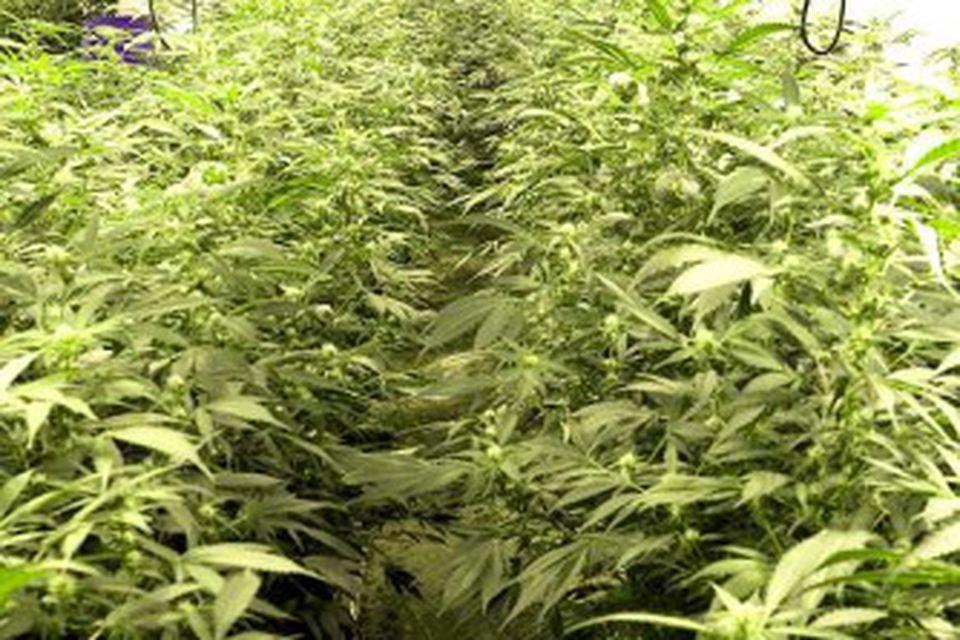 Kannabisverksmiðja í Hafnarfirði