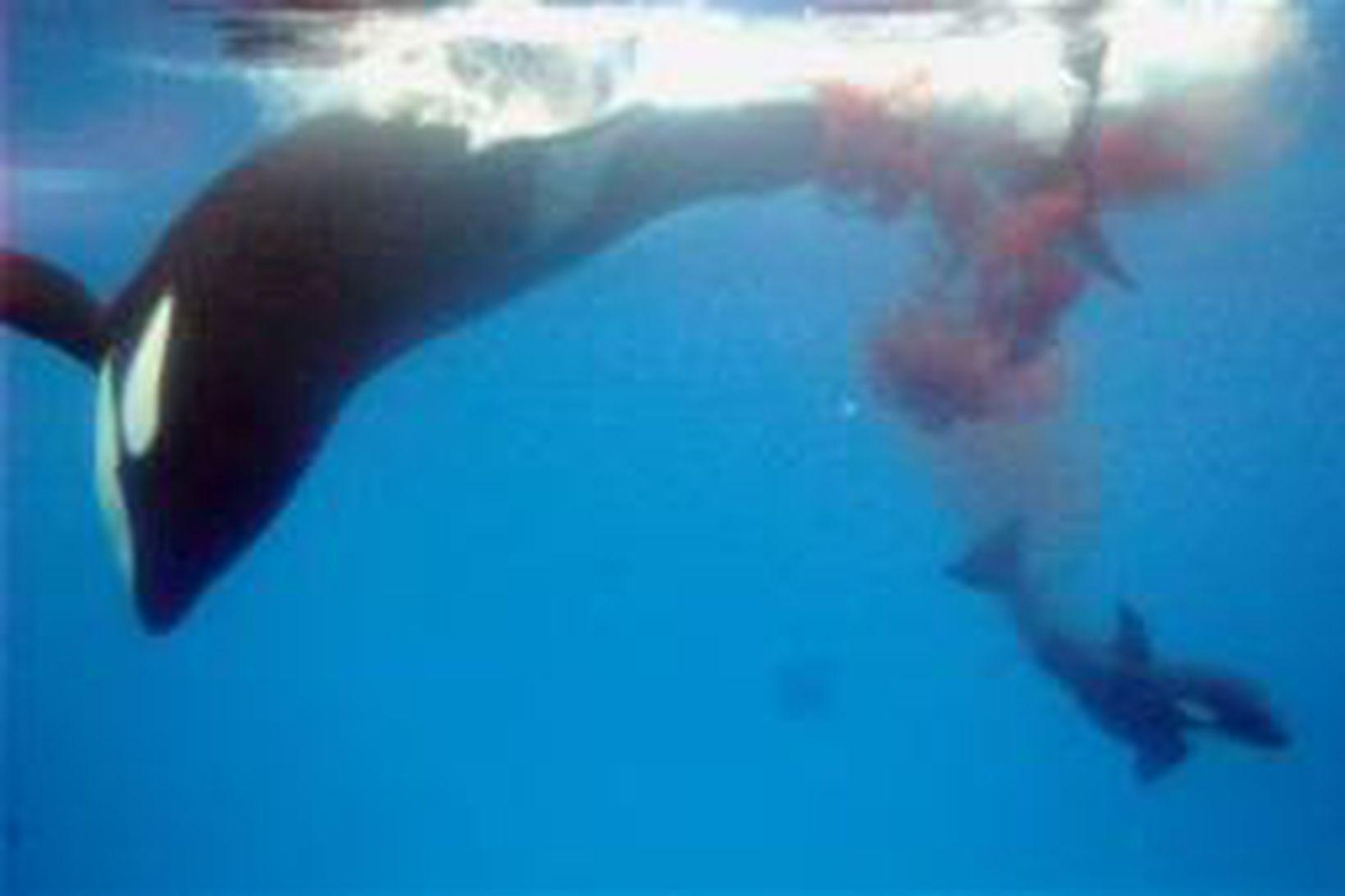 háhyrningur fæðist í SeaWorld í San Diego.