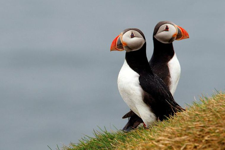 Puffins in Stórhöfði in the Westman Islands.