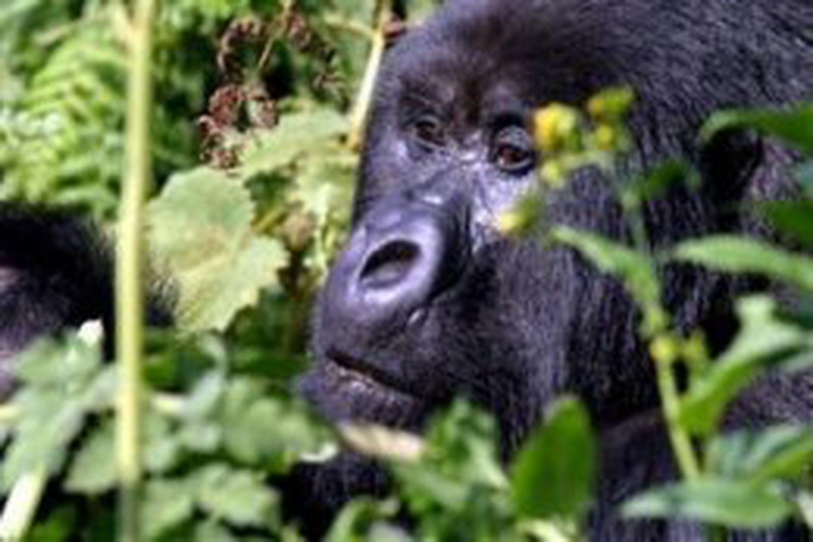 Fjallagórilla í Kongó.