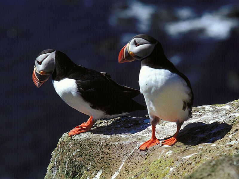 Puffin numbers have gone dangerously low in recent years.